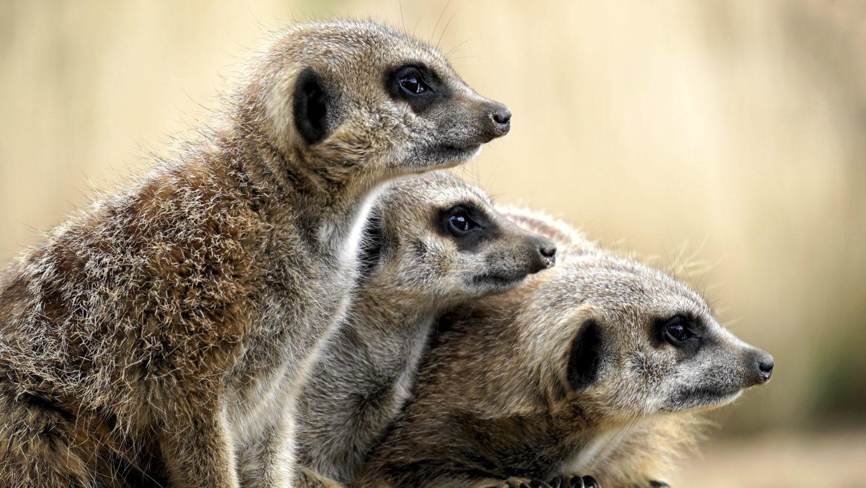 Things to do in Battersea Park Meerkat in Battersea Park Zoo