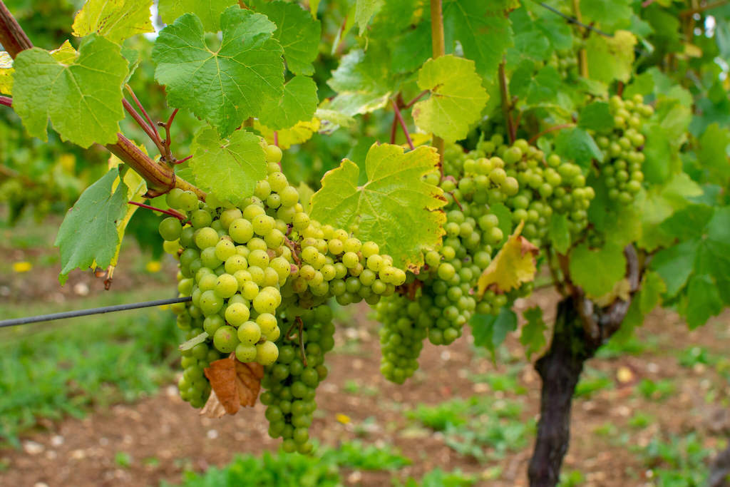 Hattingley Valley Wines - Visiting a British winery from London in a day - wine grapes