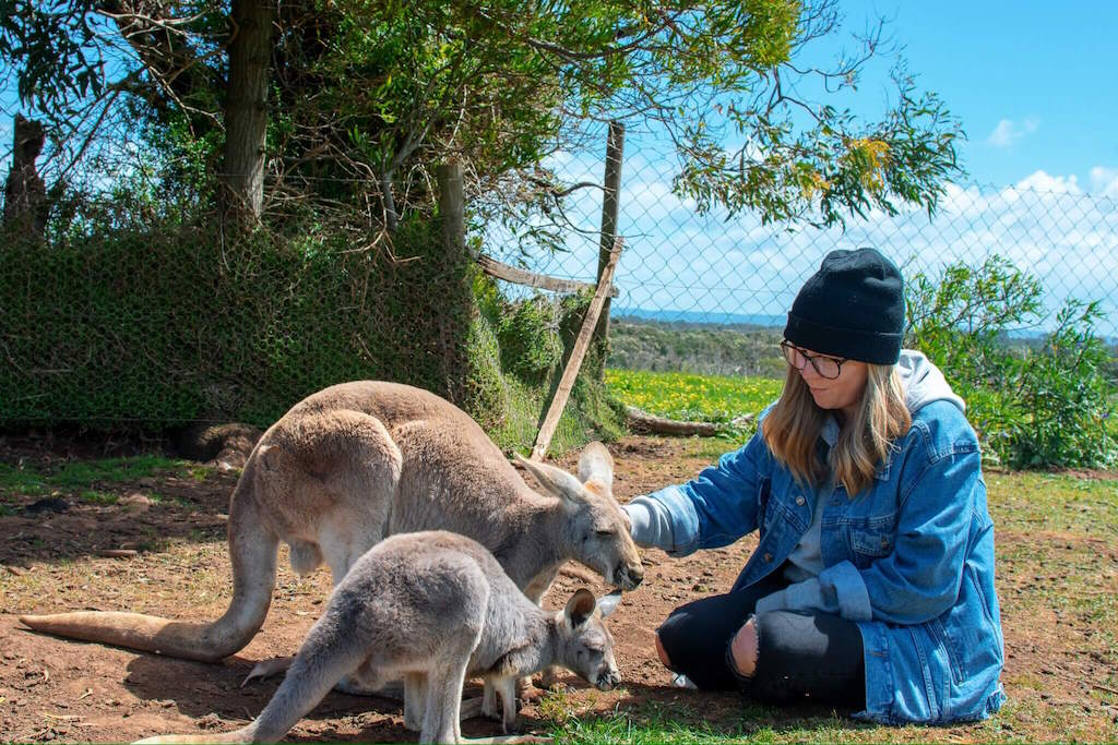 Feeding the Kangaroos at Phillip Island Wildlife Park