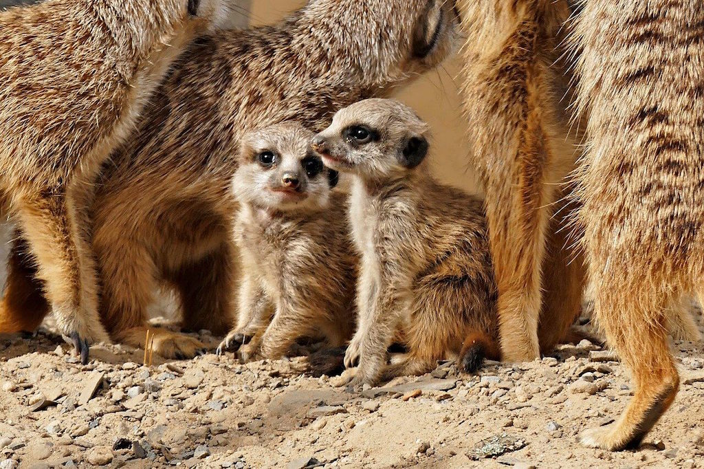 Meerkats at London Zoo